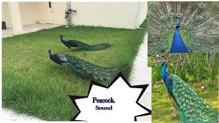 Peacock call sound HD Mp4 Download Videos - MobVidz