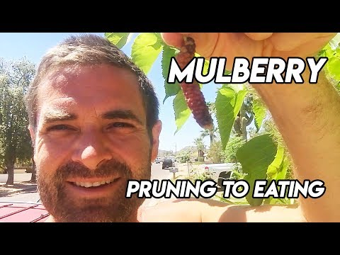 Ep159 - Pruning Mulberry to Eating Delicious Fruit!