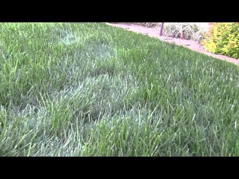 Powdery Mildew Fungus In My Lawn
