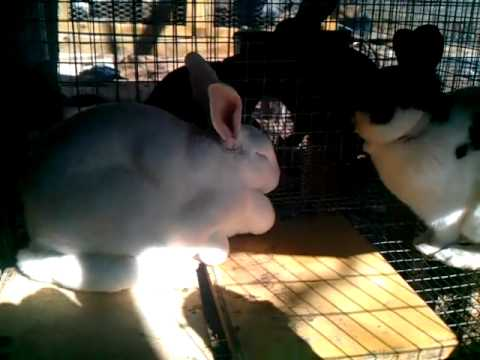 More info on ivermectin and ear mites for rabbits.