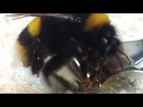 Helping a bumblebee get back on track.