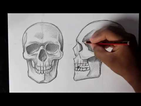 How to Draw Human Skull Front/Profile   Human Anatomy