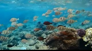 Footage: Schools Of Convict Tang And Brown Surgeonfish At Richardson Beach Park (big Island, Hawaii)