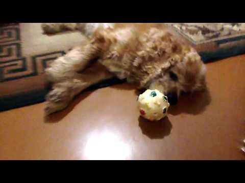 Tired dog doesn't want to play