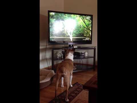 Rat Terrier watching Too Cute!