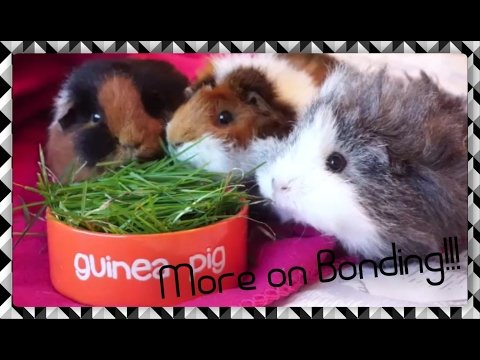 The Trio is Back Together! Plus More Advice on Bonding Guinea Pigs   Squeak Dreams