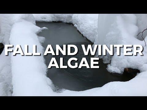 UNDERSTANDING FALL& WINTER ALGAE BLOOMS