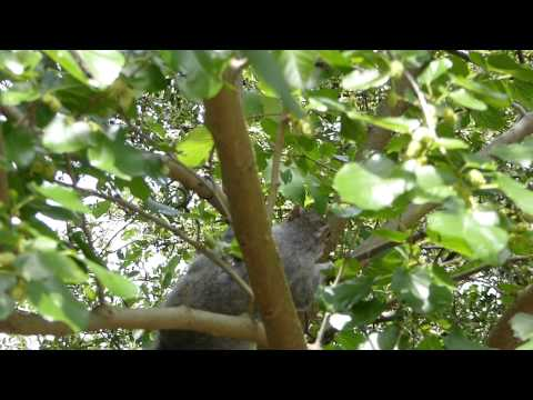 Squirrel on a mulberry tree