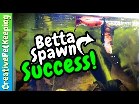Koi Betta Breeding 💙 SUCCESS | Part 3