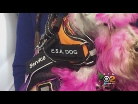 Pets On Planes For Emotional Support Only Need Note From Doctor To Fly Free