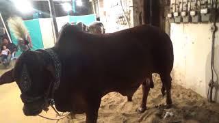 NANA Cattle Farm 2018 || Karachi Cow Mandi 2018 Latest  || #mandi2018 #karachimandi
