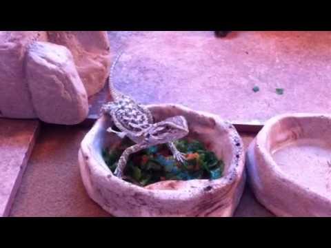 Bearded Dragon Eating Veggies