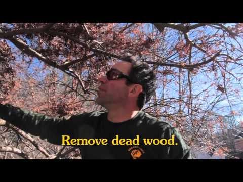 How to prune a Japanese Maple mp4