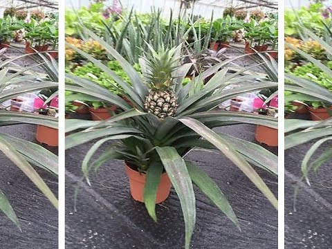 How to Grow Pineapple Plant  In a pot    NOT- [seeds link below in description]