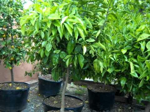Citrus Large specimen, 48 gal, Nor Cal grown.mov.AVI