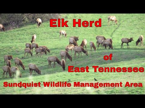 Elk Herd of East Tennessee: Wildlife Conservation