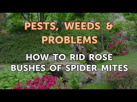 How to Rid Rose Bushes of Spider Mites