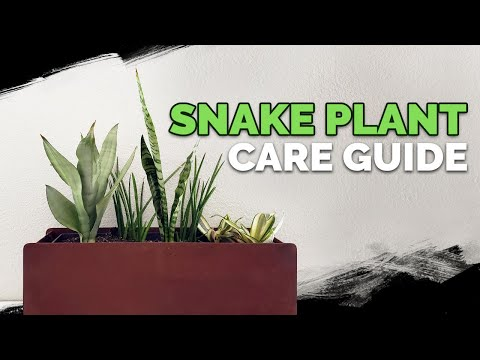 Snake Plant Care: How to Grow The