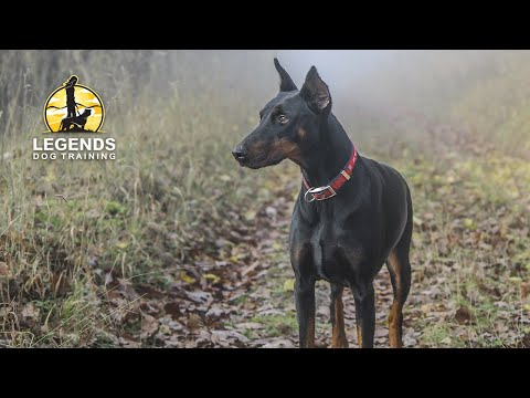 Doberman Pinscher: Training Obedience