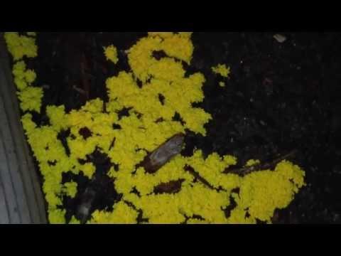 Yellow Slime Mold (Garden)