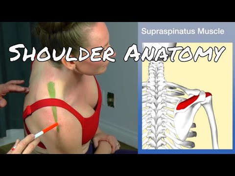 Anatomy of the Shoulder - The Muscles