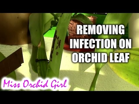 Removing infection from Orchid leaf