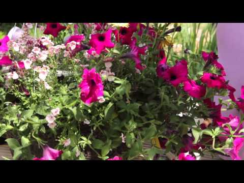 How to Revive Petunias : Grow Guru