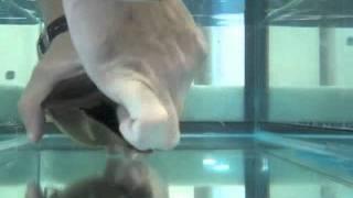 Zebra shark hatching