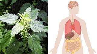Health Benefits of Stinging Nettle (Urtica Dioica)   Natural Cures