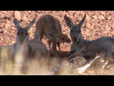 Amazing Kangaroo Technique To Stay Cool  | Planet Earth | BBC Earth