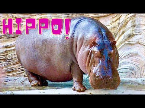 Hippopotamus Up Close 2000 Kg Mighty Beast *HD*