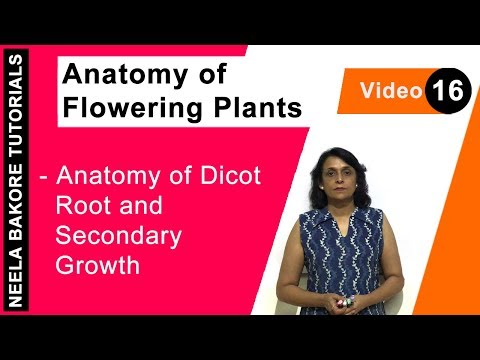Anatomy of Flowering Plants   Anatomy of Dicot Root and Secondary Growth