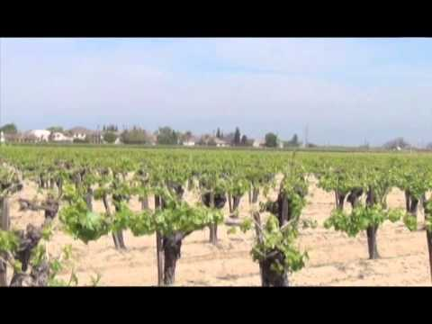 Treating Vineyards for Overwintering Powdery Mildew and Other Fungi