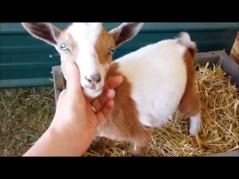 Litter Box Trained Baby Goats - These Potty Girls are Too Cute