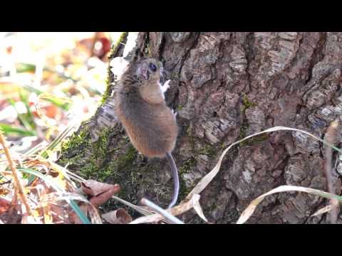 Deer Mouse living wild in the woods, coming out of the ground.