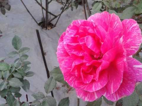 Biggest Rose of World