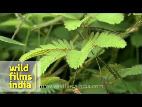 Mimosa - plant capable of rapid movement?