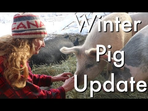 Winter Pig Update ~ A Beautiful Winter Day on the Farm