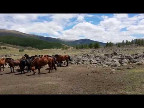 catching horses the Mongolian way