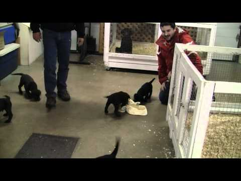 Picking out  Koda from the litter (2 of 3)