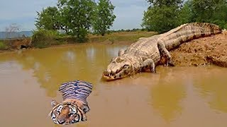 Download Unbelievable!!! God Forest Fight King Swamp, Tiger Become prey Of Crocodile Underwater Video