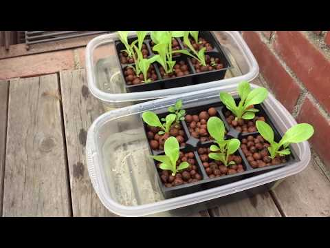 Growing Lettuce 3