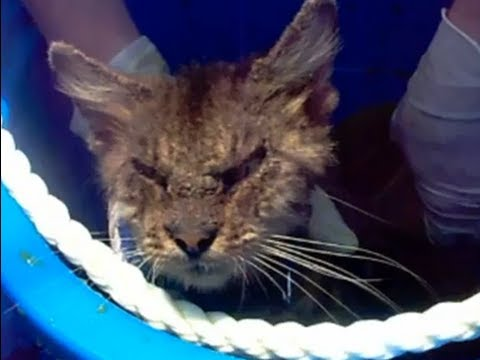 Before and After Lime Dip Treatment: Cat Rescued With Sarcoptic Mange