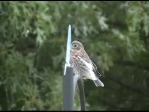 My Bluebirds, Nest, Eggs & Babies -- A Documentary