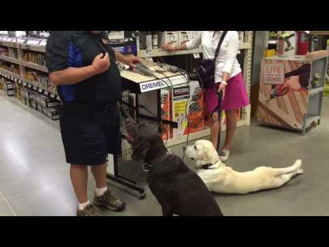 Yellow Lab Therapy Dog Training for Distractions