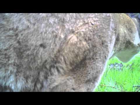 Mountain lion (cougar) checks out a trail camera (6/9/13)