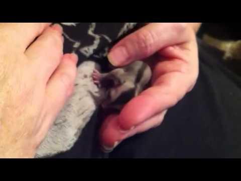 Newborn sugar glider