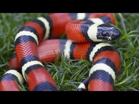 California King Snake vs. Corn Snake   Pet Snakes