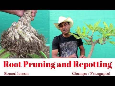 Bonsai Lesson/Root Pruning and Repotting/Champa/Frangapini