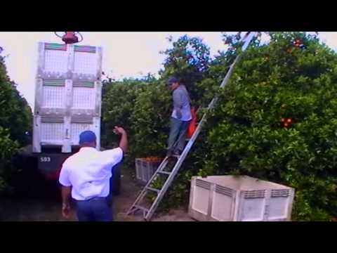 Citrus Harvesting Equipment Safety Spanish